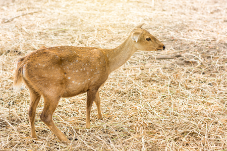 Younger deer standing on dry straw