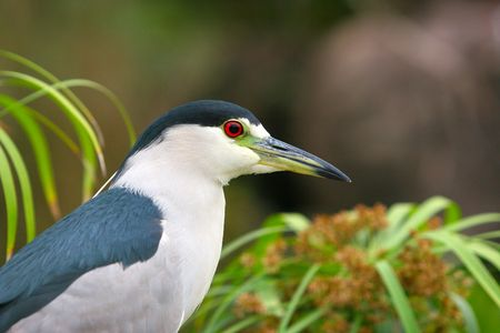 capped: Black Capped Night Heron Stock Photo