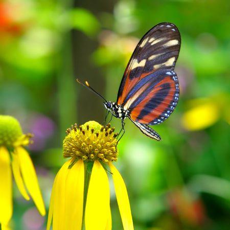 corn flower: Butterfly on a Flower