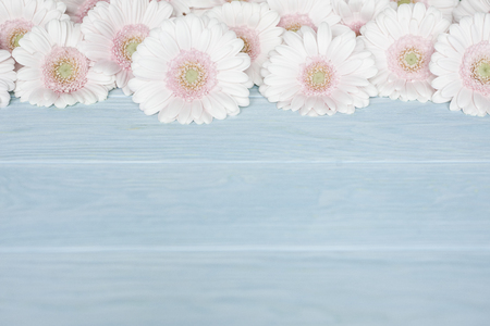 Pink fresh gerbera flowers on blue wooden background close up