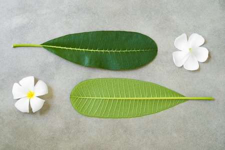 Concept composition of spa treatment, close up of white plumeria or frangipani flowers and leaves on stone background.