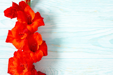 Fresh red gladiolus flower close-up on blue wooden background with copy space