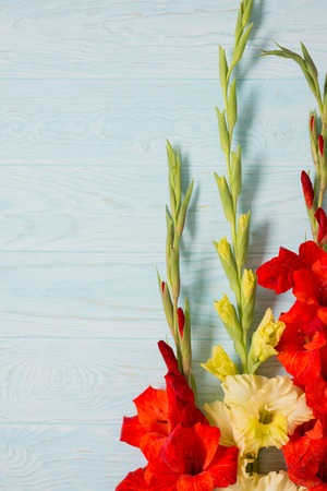 Fresh yellow and red gladiolus flower close-up on blue wooden background with copy space Stock Photo