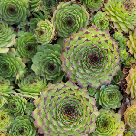 Beautiful Succulent Plants, Echeveria for Background. Square.