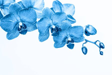 Orchid branch in blue color on white Фото со стока