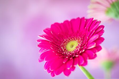 Pink gerbera flowers on a pink background. Image for cards, wallpapers, greetings.