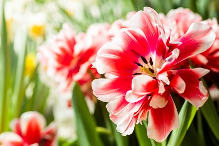 Beautiful red-white tulip on a background of bright flowers and greenery.