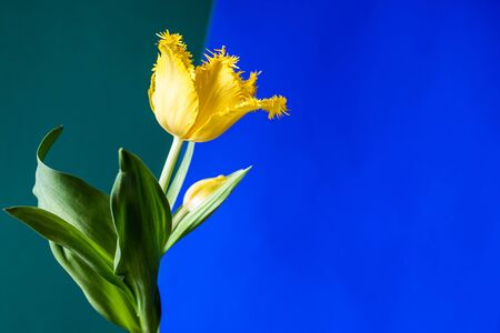 Yellow tulip flower on a two-color background with copy space. Фото со стока