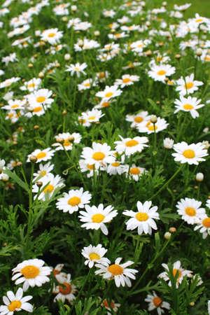 Wiese der weißen Ox-Eye Gänseblümchen (Leucanthemum), Familie der Korbblütler (Asteraceae)
