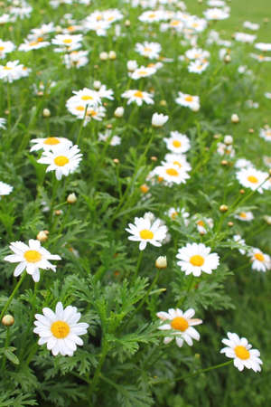 Kamille im Kräutergarten kombinierbar  Standard-Bild