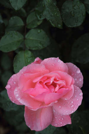 One pink rose with morning dew and green leaves photo