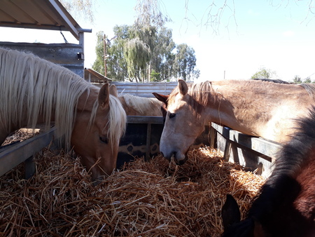 Brown and white horses in a stable eating hay Standard-Bild - 101517286