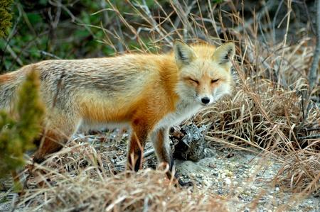 red fox: Camera Ready Red Fox Stock Photo