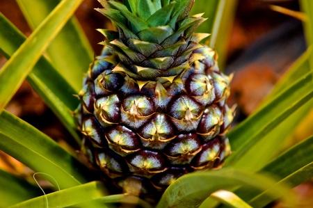 Pineapple Plants Zdjęcie Seryjne