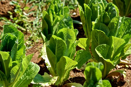 romaine lettuce: Romaine Lettuce Garden