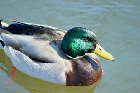 mallard: Mallard Duck