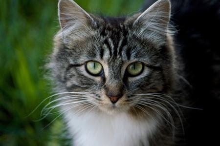 gray cat: Fluffy Gray Cat Stock Photo