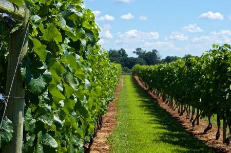 path to romance: Walking Through A Beautiful Vineyard