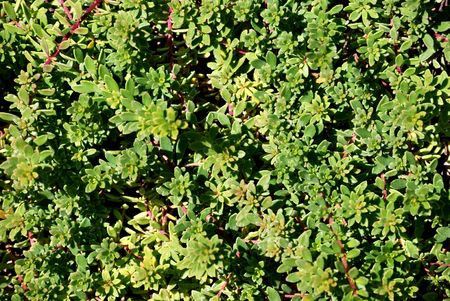 ground cover: Close up of myoporum parvifolium ground cover.  Can be used as a background