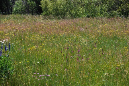 south lake tahoe: Taylor Creek Marsh grass and wildflowers in Lake Tahoe. Stock Photo