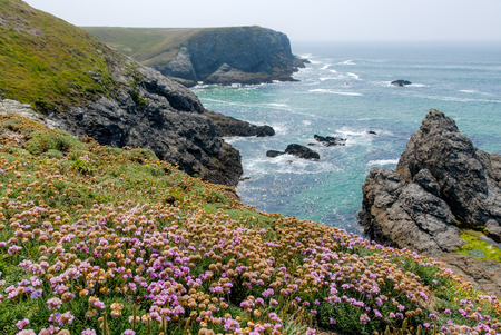 A carpet of purple flowers in front of the blue sea and the cliffs of the coast of Belle-Ile, Brittany, France