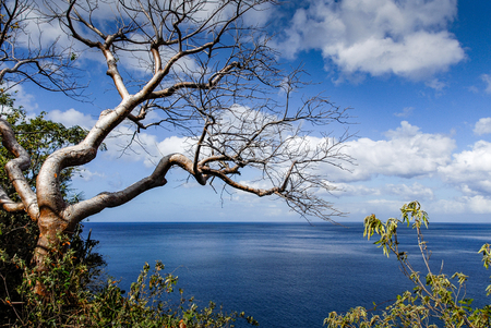 A tropical leafless tree overlooking the blue sea and the blue sky of Guadeloupe, in the West Indies Stock Photo