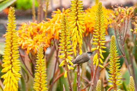 A bird stands on  an Aloe vera in bloom in the botanical garden of Funchal on Madeira Island