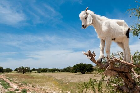 A small goat is perched on an argan tree in the region of Essaouira in Morocco Stok Fotoğraf