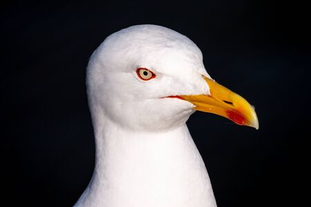 Close-up of the head of a seagull. The eye is circled with red. The yellow beak is prominent
