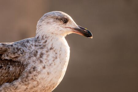 A young seagull seen in profile, somewhere on the port of Essaouira, Morocco