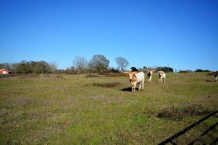 Clear blue skies and good looking bulls.