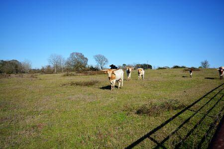 Here comes the bulls Stock fotó
