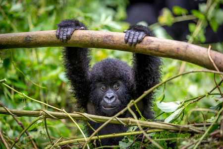 A baby gorila inside the Virunga National Park, the oldest national park in Africa. DRC, Central Africa. Stock Photo