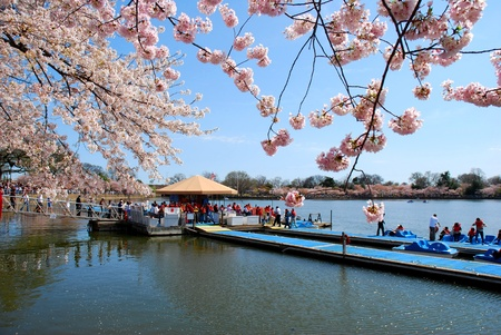 washington landscape: Cherry Blossom Festival in Washington DC, USA  Stock Photo