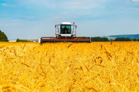 Landscape with yellow grain fields Stock Photo