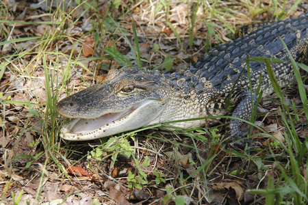 Close-up of a juvenile alligator resting in the grass of a wildlife preserve near Hilton Head, South Carolina.