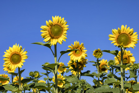 Sunflowers rise in a nature area in Southern Wisconsin. Verona, WI. USA