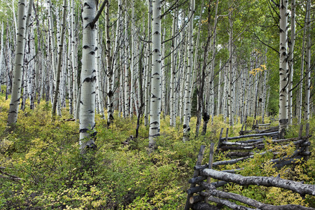 Grove of aspen trees with rail fence near Dallas Divide in the San Juan Mountains of Colorado