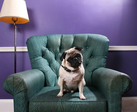 cocked: A pug dog sits on a green overstuffed chair in front of a purple wall. Cocks his head in a cute manner. Stock Photo