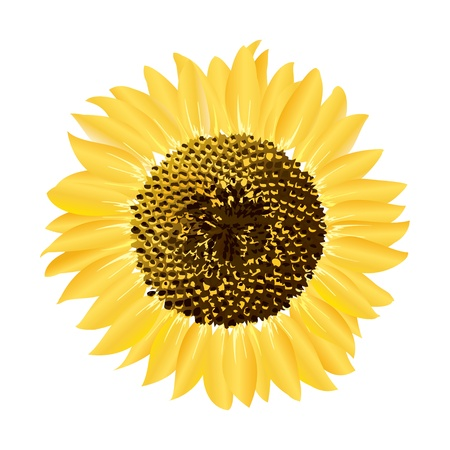One vector sunflower Stock Vector - 11659362