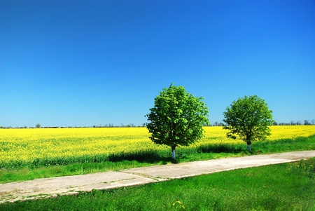 napus: Bright yellow field with Brassica napus and two tree