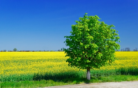 Bright yellow field with Brassica napus and tree  photo