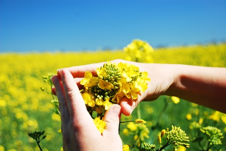 Bright yellow Brassica napus flowers in their hands  photo