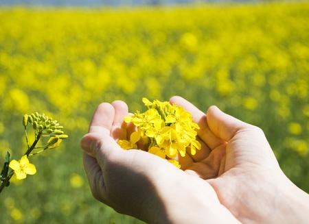 Zářivě žluté Brassica napus květy ve svých rukou Reklamní fotografie