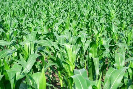 Field with young corn  photo