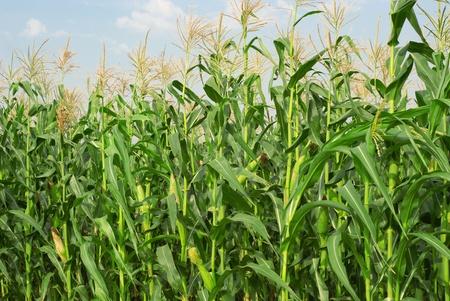 De campo con maíz tierno