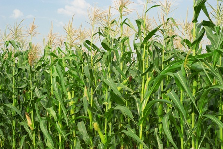 Field with young corn