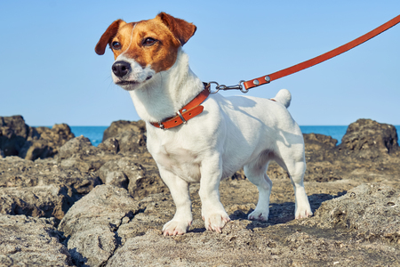Portrait of Jack Russell Terrier. Dog playing on the beach at sunset 스톡 콘텐츠