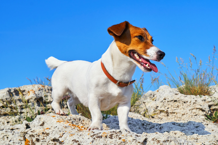 Portrait of Jack Russell Terrier. A dog stands on a rock on the beach at sunset