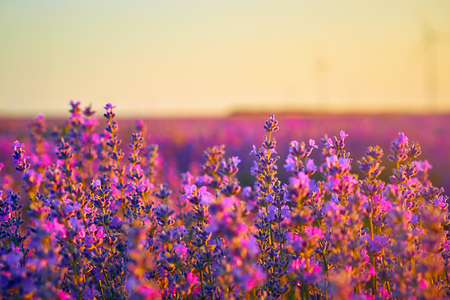 Bright lavender field at sunset. Bright abstract background ideal for any design. Basic background for design 스톡 콘텐츠